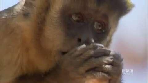 Cunning Capuchins