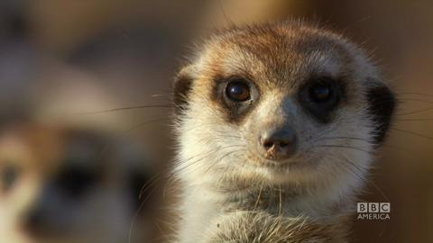 24 Hours on Earth's Meerkats