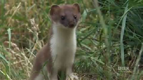 Little Stoat Busts a Move