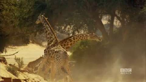 Inside a Giraffe Battle